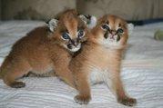 Эксклюзивные экзотические сервалы,  саванны и каракал котят